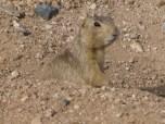 Western Ground Squirrel