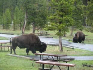 Bison at our Camp Site!
