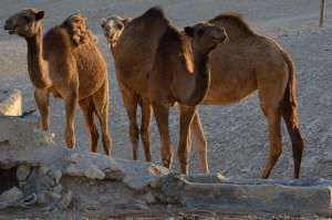 Camel Trio