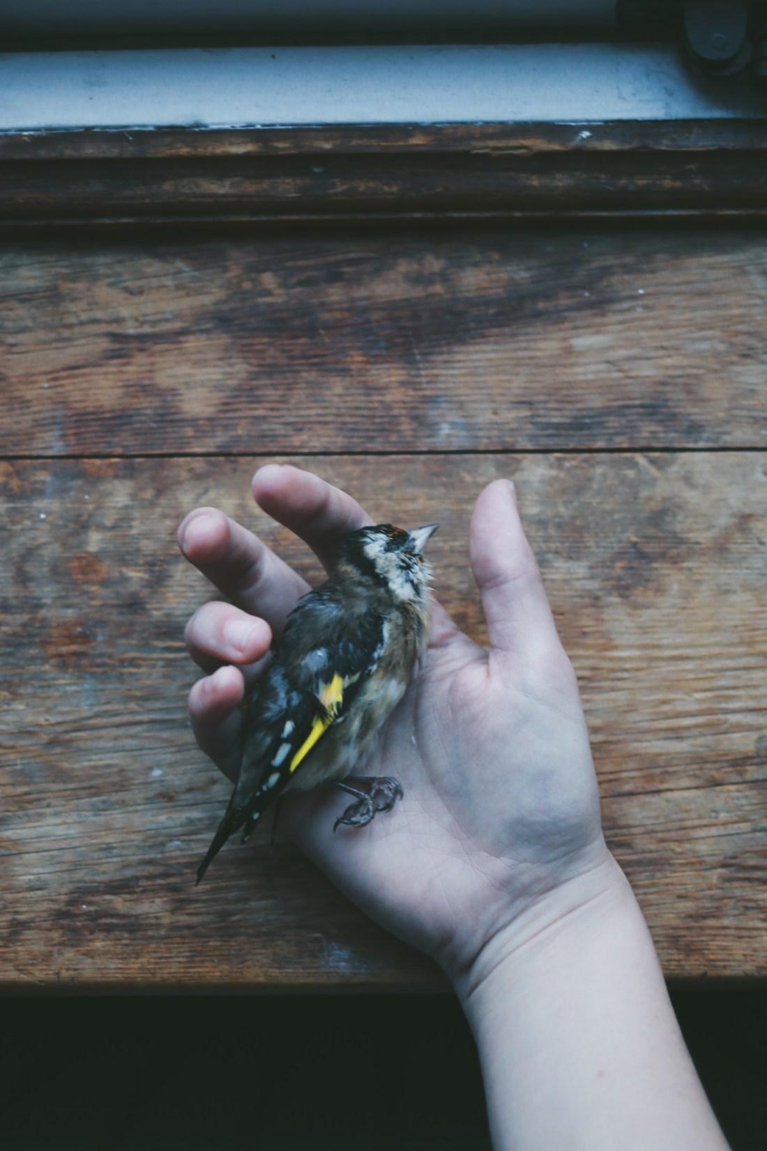 goldfinch in hand