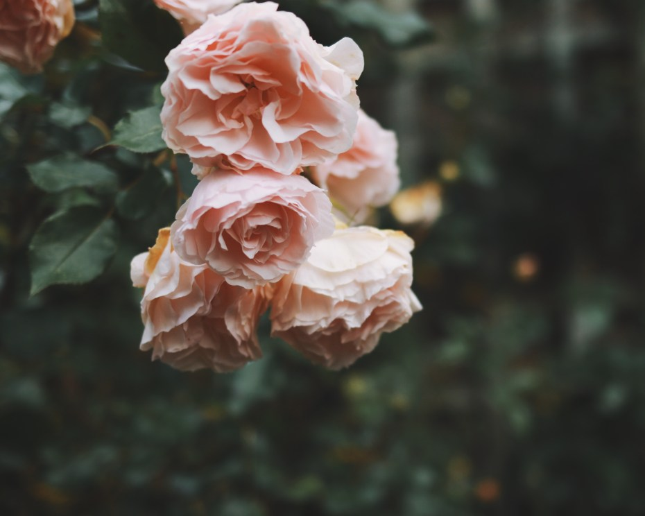 pink roses #wheniwas