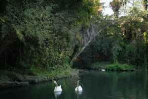 white swans on river