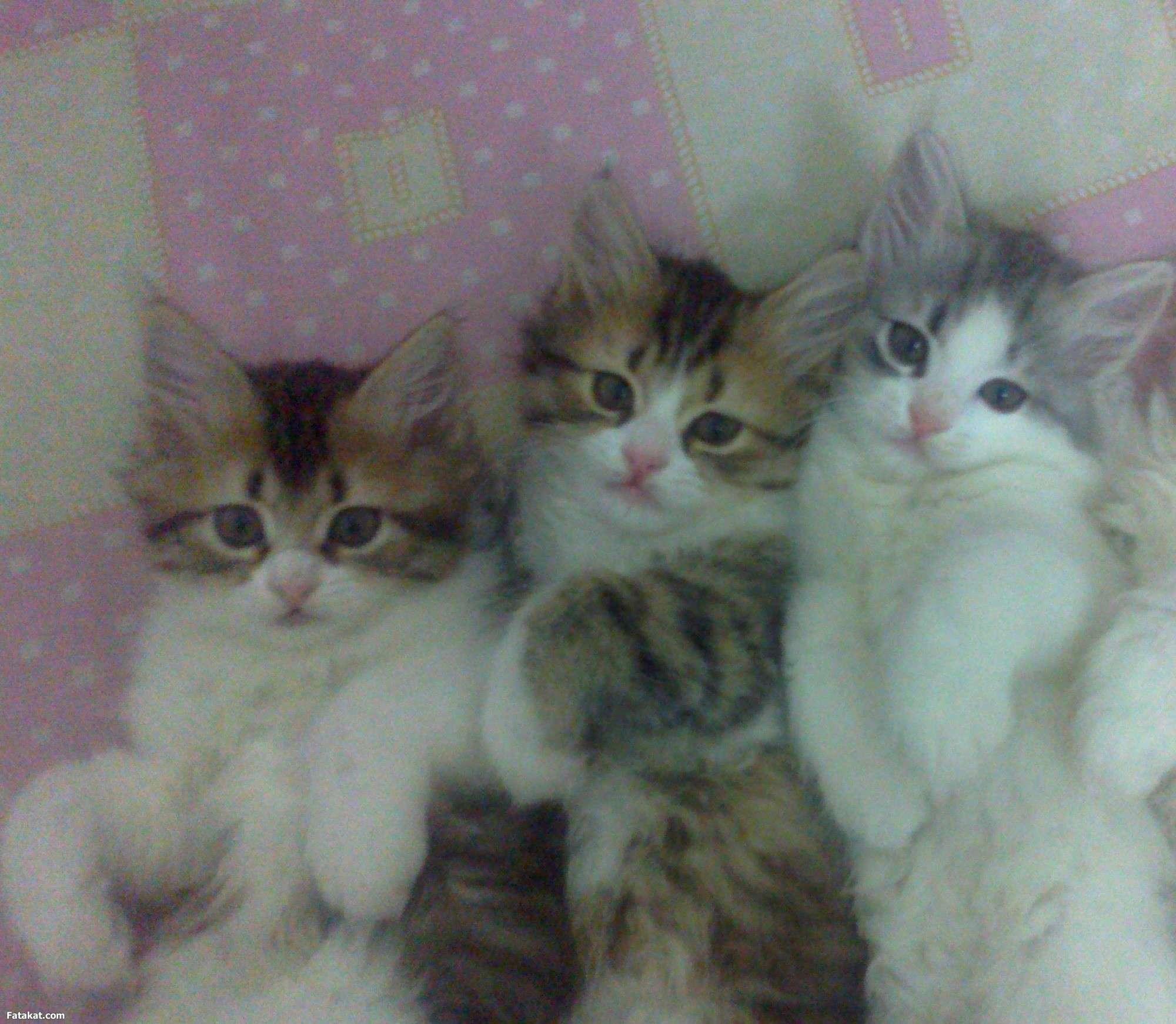 قطط جميلة خلفيات قطط كيوت كرتون