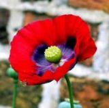 Poppy   flowers name