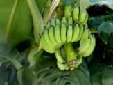 raw banana | vegetable name