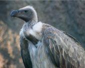 Vulture   bird name