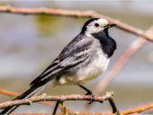 wagtail bird