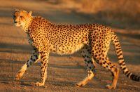cheetah jangli janwar