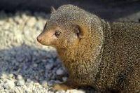 Mongoose animal
