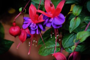 Looking After Gardens Fuchsia