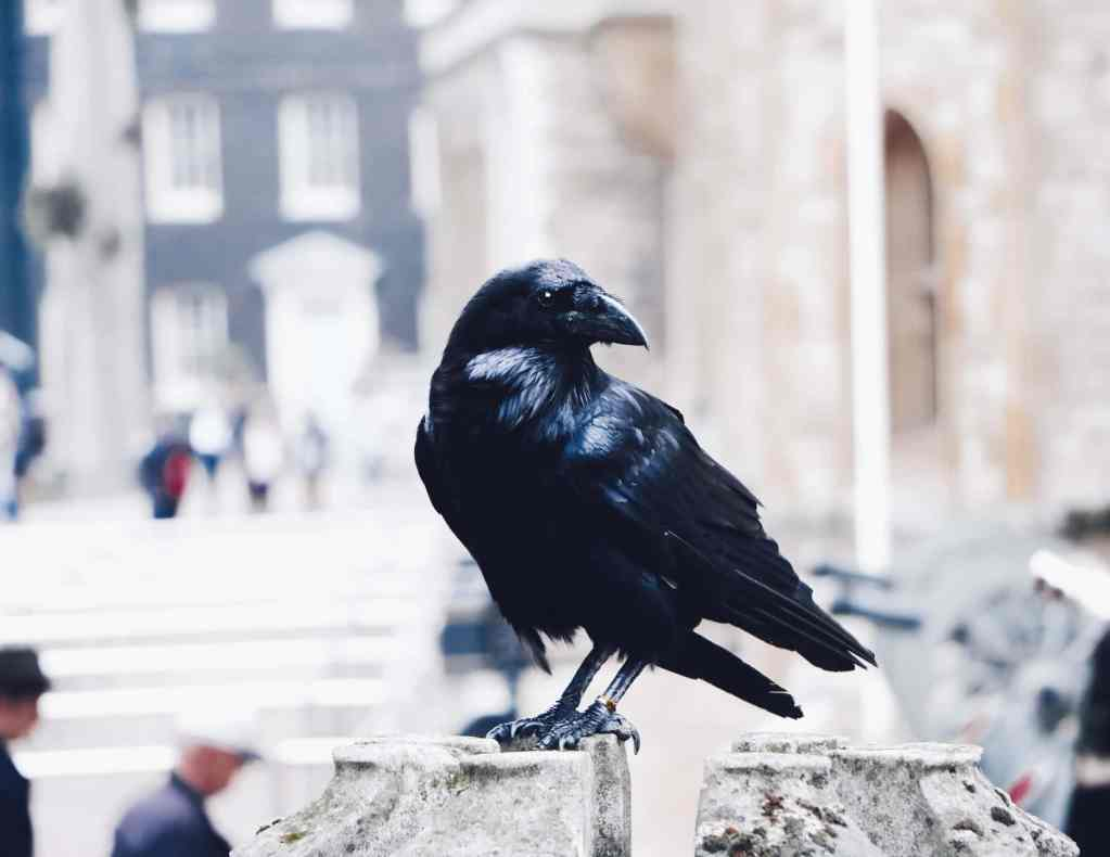A black raven perched on a stone wall inside the tower of london