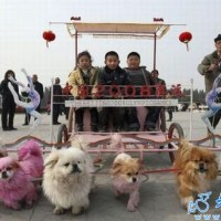 More strange and funny photos: Animals as transportation in China