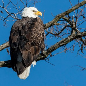 Bald Eagle. Photo by Alan Wells.