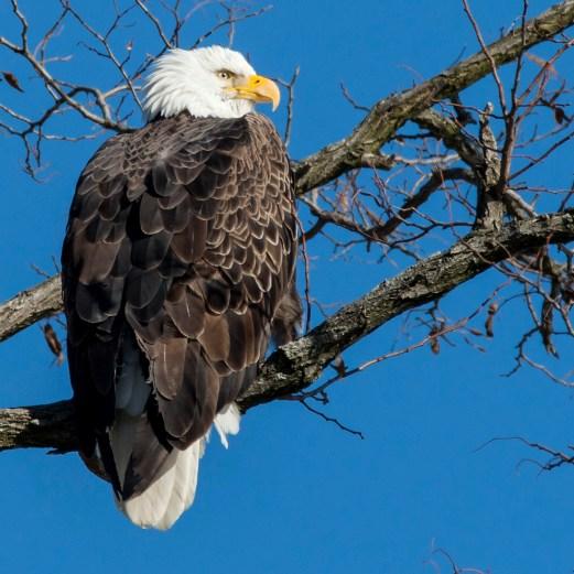 Bald Eagle. Photo by Alan Wells.