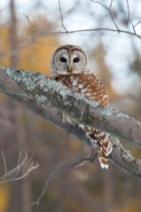 Barred Owl. Photo by Alan Wells.