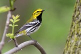 Black-throated Green Warbler. Photo by Alan Wells.
