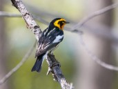 Blackburnian Warbler. Photo by Bill Fiero.