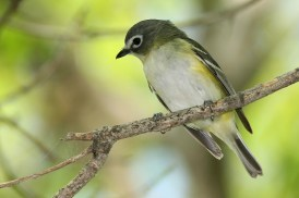 Blue-headed Vireo. Photo by Alan Wells.