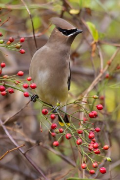 """Cedar Waxwing. Photo by Alan Wells. """"During rainy days they do not seek any protection from the wet, but sit quietly...with top-knots flattened, looking just a trifle depressed in spirits, as well as literally crest-fallen."""" —EA Mearns"""