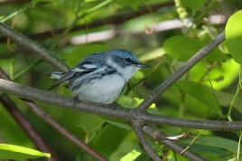 Cerulean Warbler. Photo by Alan Wells.