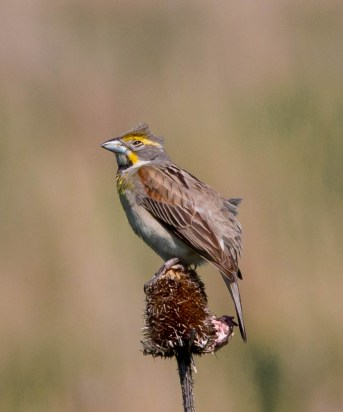 Dickcissel. Photo by Bill Fiero.