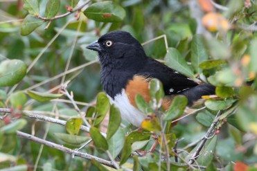 Eastern Towhee. Photo by Alan Wells.