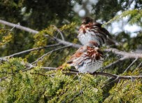 Fox Sparrows. Photo by Carlotta Shearson.
