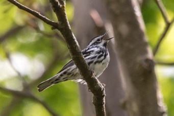 Black and White Warbler. Photo by Bill Fiero.