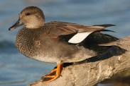 Gadwall. Photo by Alan Wells.
