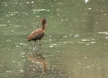 Glossy Ibis. Photo by Bill Fiero.