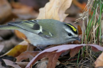 Golden-crowned Kinglet. Photo by Alan Wells.
