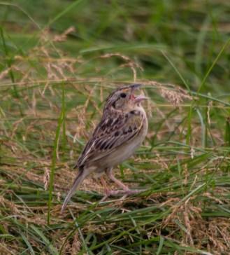 Grasshopper Sparrow. Photo by Bill Fiero.