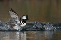 Hooded Merganser. Photo by Alan Wells.