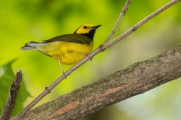Hooded Warbler. Photo by Alan Wells.