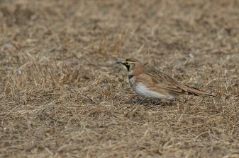 Horned Lark. Photo by Alan Wells.