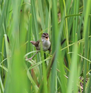 Marsh Wren. Photo by Karen Miller.