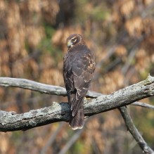 Northern Harrier. Photo by Karen Miller.