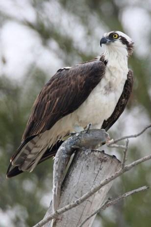 Osprey. Photo by Alan Wells.