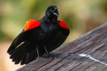 Red-winged Blackbird. Photo by Alan Wells.