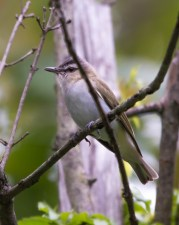 Red-eyed Vireo. Photo by Bill Fiero.