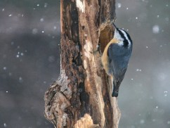 Red-breasted Nuthatch. Photo by Alan Wells.