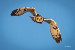 Short-eared Owl. Photo by Dave Baker.