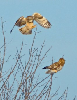Short-eared Owls. Photo by Dave Baker.