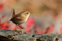 Winter Wren. Photo by Alan Wells.