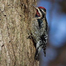 Yellow-bellied Sapsucker. Photo by Alan Wells.