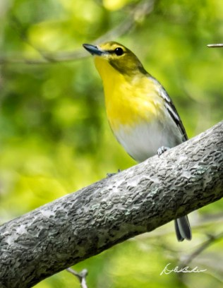 Yellow-throated Vireo. Photo by Dave Baker.