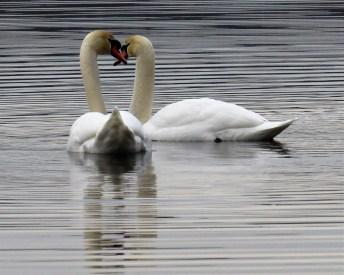 Mute Swans. Photo by Maryangela Buskey.