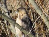 Cooper's Hawk. Photo by Joyce Depew.