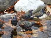 European Starlings. Photo by Teresa Loomis.