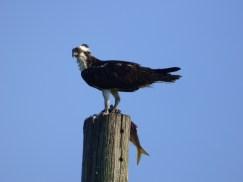 Osprey. Photo by Teresa Loomis.